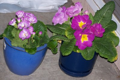 huge primrose and double primrose