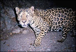 Delightful ... Into The Southwestern U.S. From Northwestern Mexico. Yes You Read  Right....JAGUARS. Sightings Have Been Documented In Arizona, New Mexico,  And Texas.