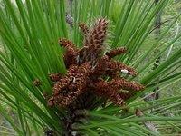 Estróbilus masculino de Pinus tropicalis, endémica de Pinar del Río e Isla de la Juventud, Cuba