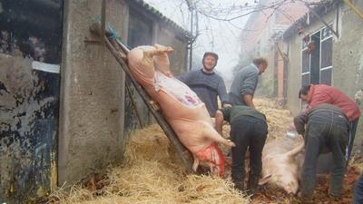 Repare que enquanto o primeiro porco a morrer já está erguido, o outro passa, ainda, pelo processo de limpeza de pele