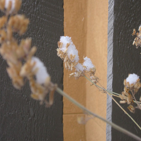 snow on flower seed pods
