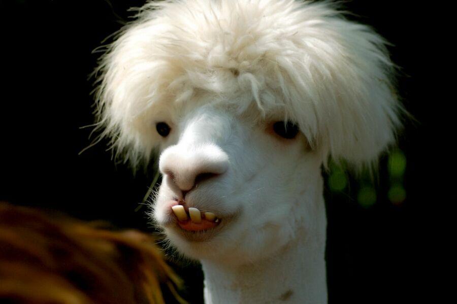weird llama face