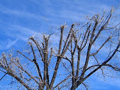 Pruned Pecan Trees