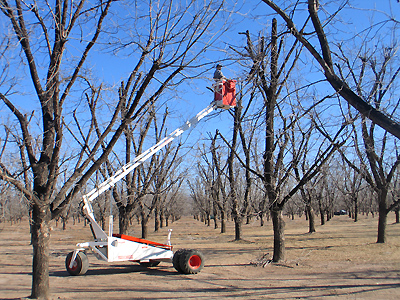 Pecan Pruning - Rideable Arm