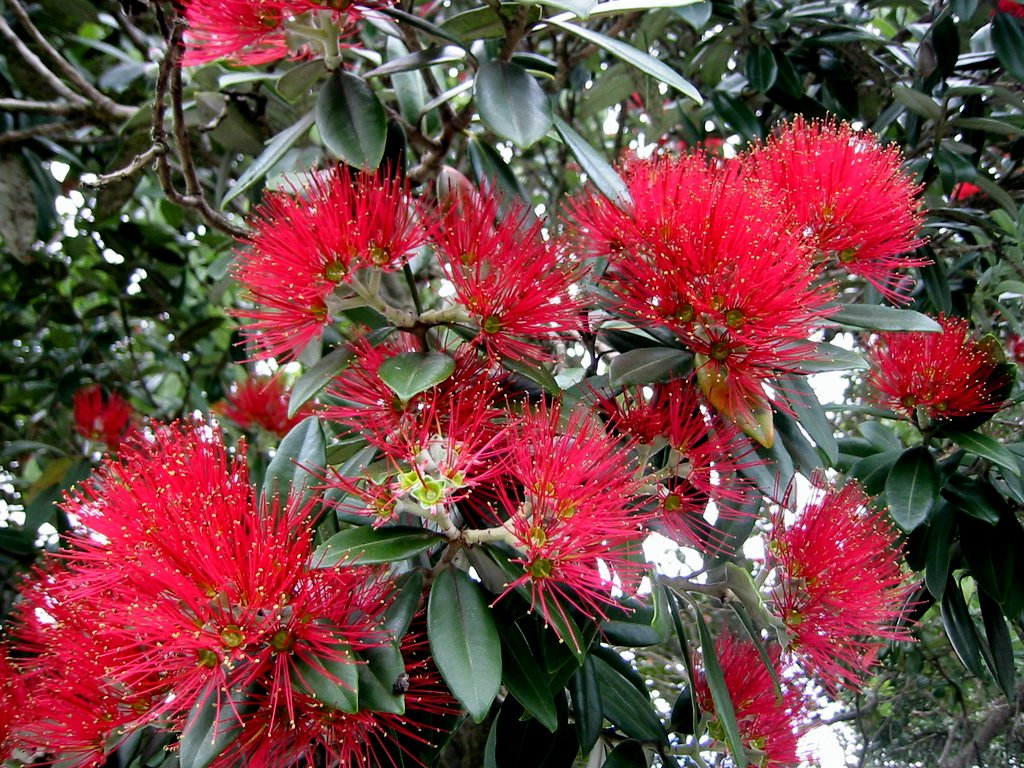 New Zealand Christmas Tree Pohutukawa Metrosideros Excelsa