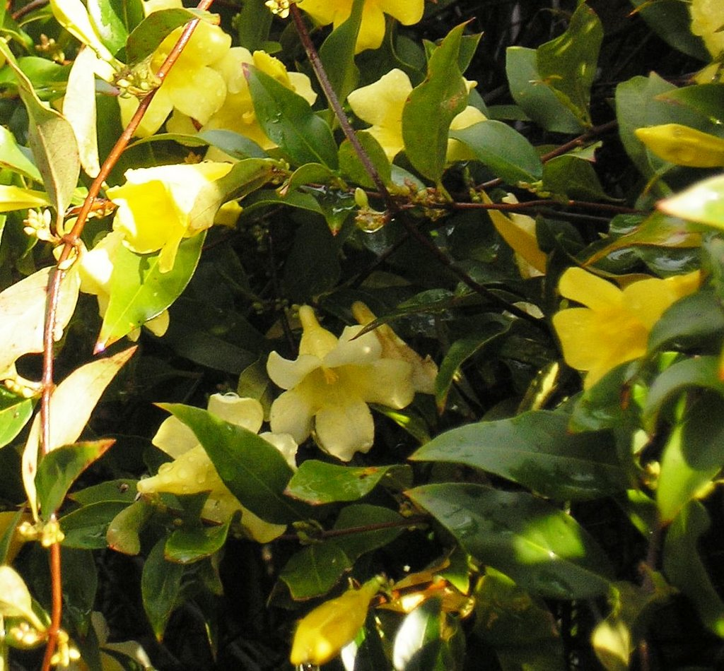 My Florida History Of Yellow Jessamine