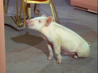 Arnold ziffel pig