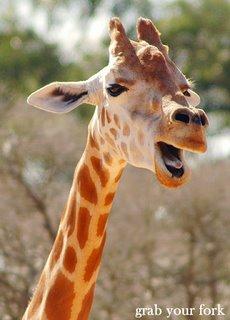 giraffe yawn