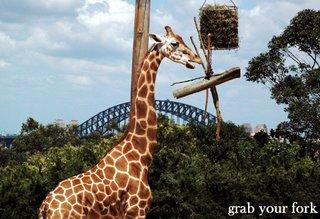 giraffe and Sydney Harbour Bridge