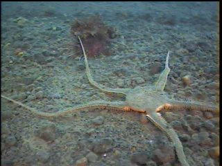 brittle star and sea urchin