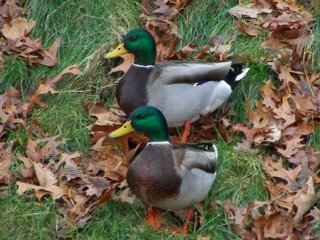 A pair of male Mallard ducks