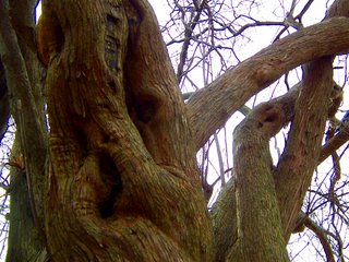 Gnarled branches of a lilac tree