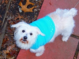 Westie in a sweater
