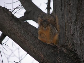 Eastern gray squirrel, Sciuridae carolinensis
