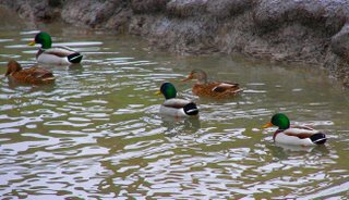 Group of ducks in Tifft Creek