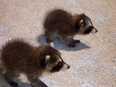 Baby raccoons at Secor Metropark