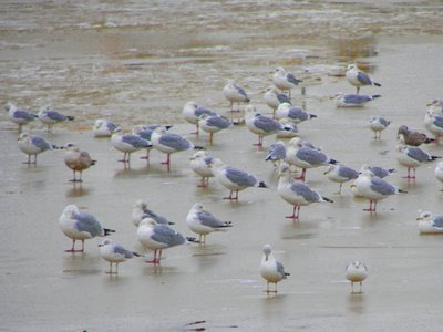 Seagulls resting along the Maumee River