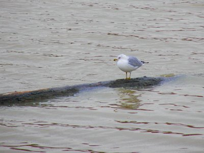 Seagull resting along the Maumee RIver