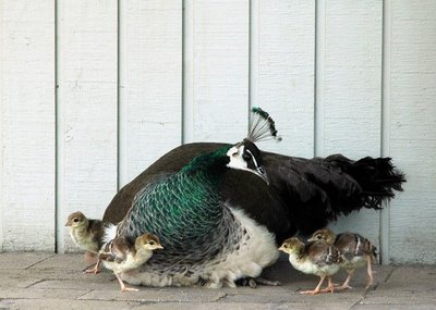 peacock and her babies