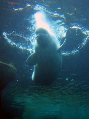 performing beluga