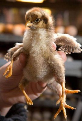 weird chicken have 4 legs