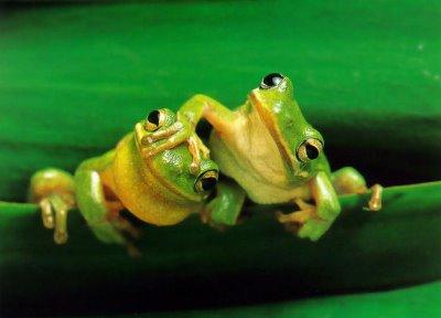 twin frog