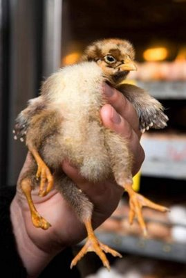 chicken born with four leg