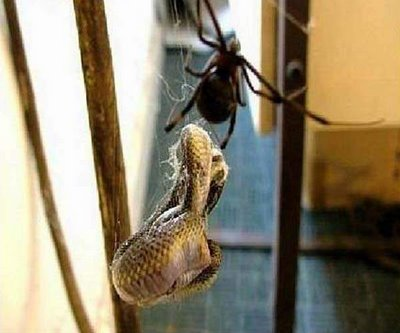 the snake was crimped in spider's lair. it just made a big mistake