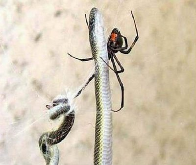 a snake trying to get a spider for its meal. Unfortunately it has to confront a deadly spider. snake and spider fight begin