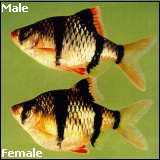 male and female tiger barbs