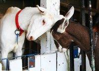 Goats by pixelPerfect