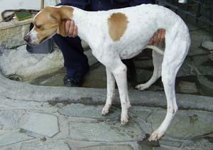 græske hunde