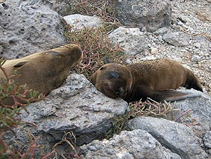 Sea-lion puppy with its mommy