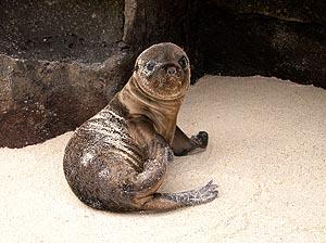 Sea-lion puppy