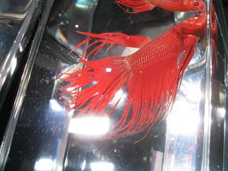 red crown tail betta splenden