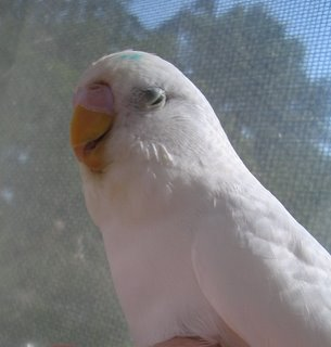 budgie, Angel