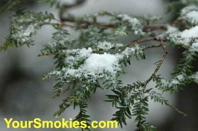 Hemlocks the evergreen of the Smokies