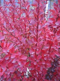 piante dalle foglie rosse in inverno  Forum di Giardinaggio.it