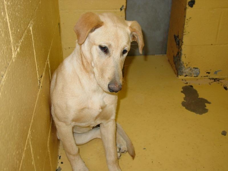 Yellow Lab Terrier Mix Ao7-0133 yellow labrador