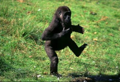 Gorilla running away