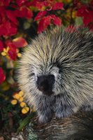 Porcupine in full bloom!