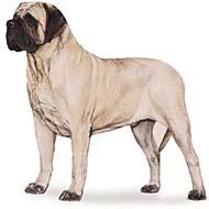 mastiff Os dez cachorros mais inteligentes e os mais burros   Curiosidades