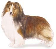 shetland Os dez cachorros mais inteligentes e os mais burros   Curiosidades