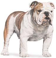 bulldog Os dez cachorros mais inteligentes e os mais burros