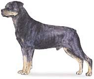 rottweiler Os dez cachorros mais inteligentes e os mais burros   Curiosidades