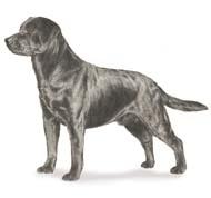 labrador Os dez cachorros mais inteligentes e os mais burros   Curiosidades