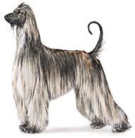 afghan Os dez cachorros mais inteligentes e os mais burros
