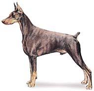 doberman Os dez cachorros mais inteligentes e os mais burros   Curiosidades