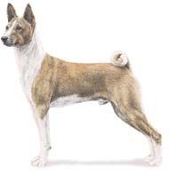basenji Os dez cachorros mais inteligentes e os mais burros   Curiosidades