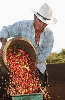 Coffee farmer pouring out a basket of coffee cherries in the Alajuela region of Costa Rica. (Photo: Image Bank's Chase Jarvis for Getty Images)